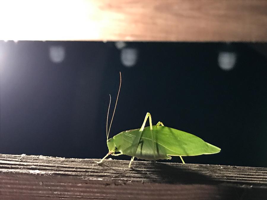 Katydid Friend