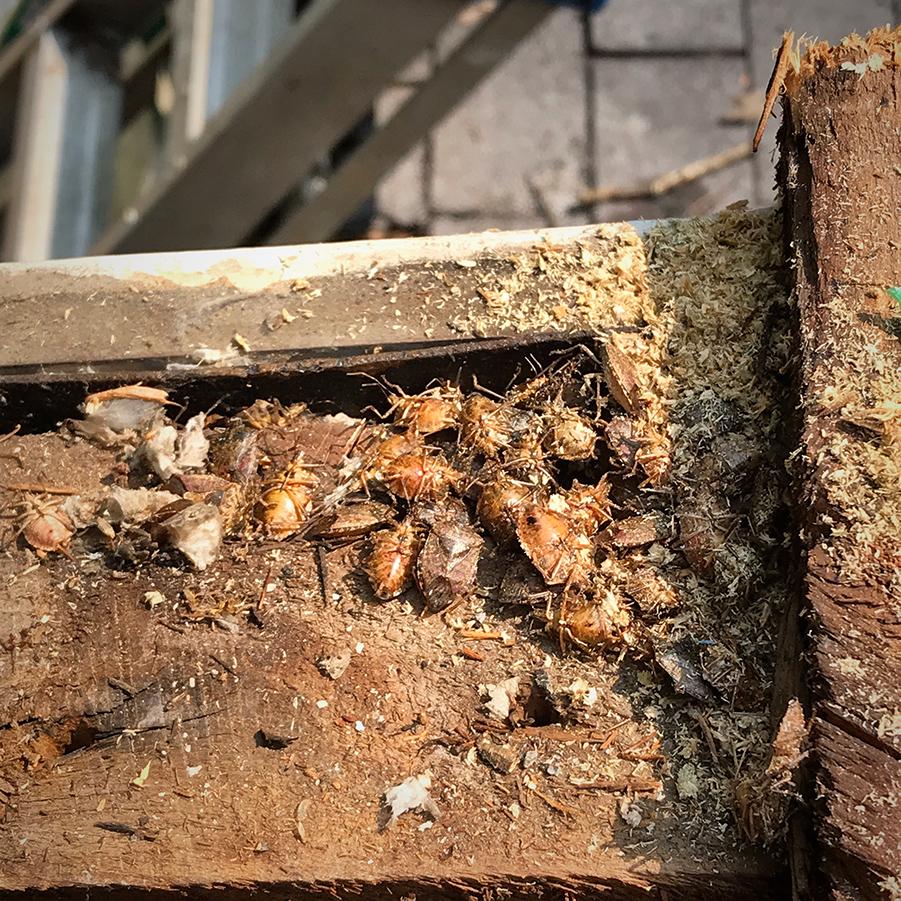 Stink Bug Nest