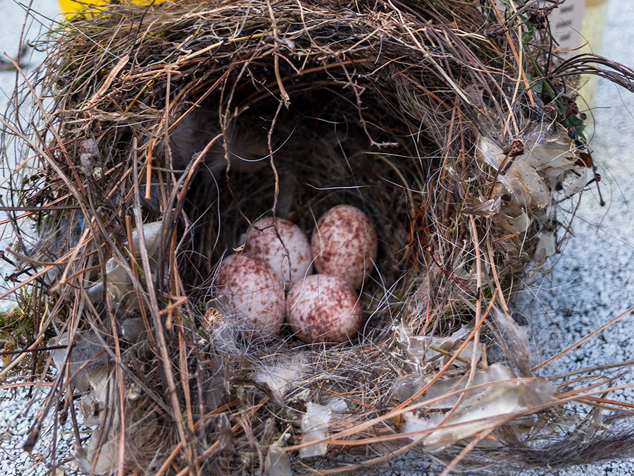 Eggs, Nest & Feathers